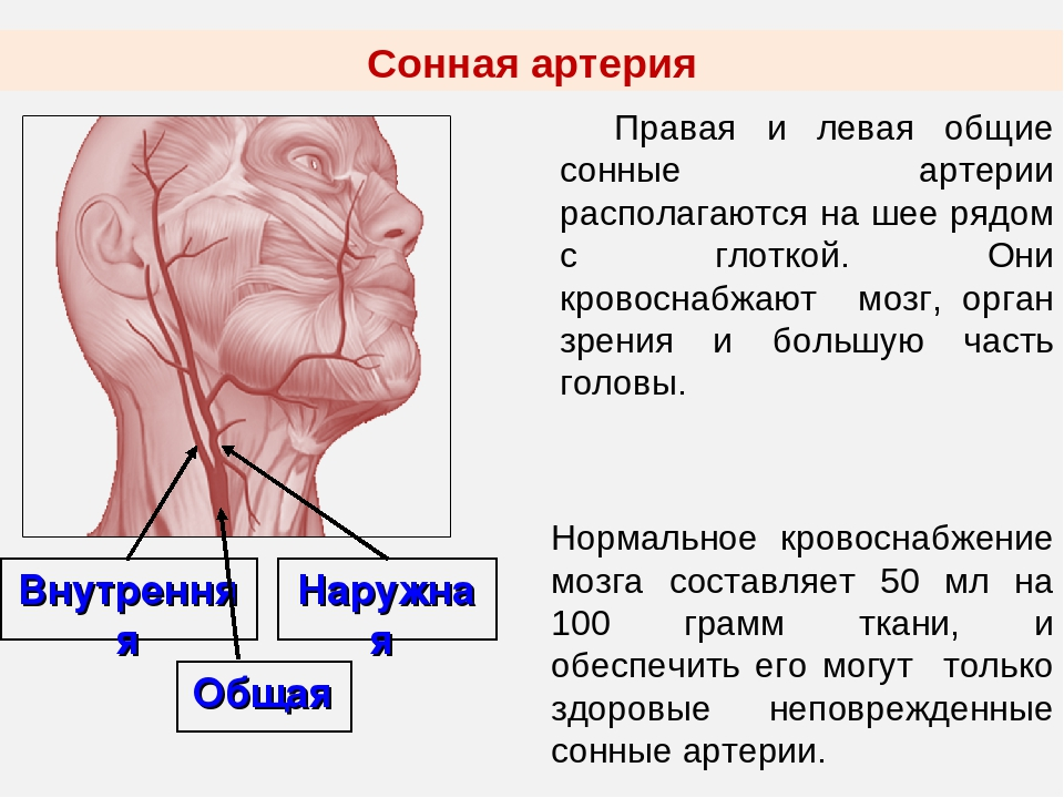 Где находиться сонная артерия на шее