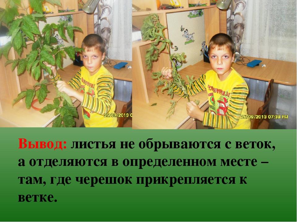 Вывод: листья не обрываются с веток, а отделяются в определенном месте – там,...