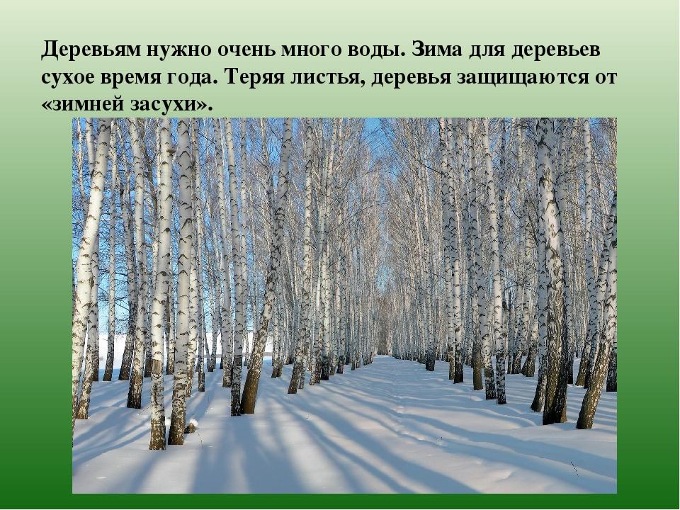 Деревьям нужно очень много воды. Зима для деревьев сухое время года. Теряя ли...