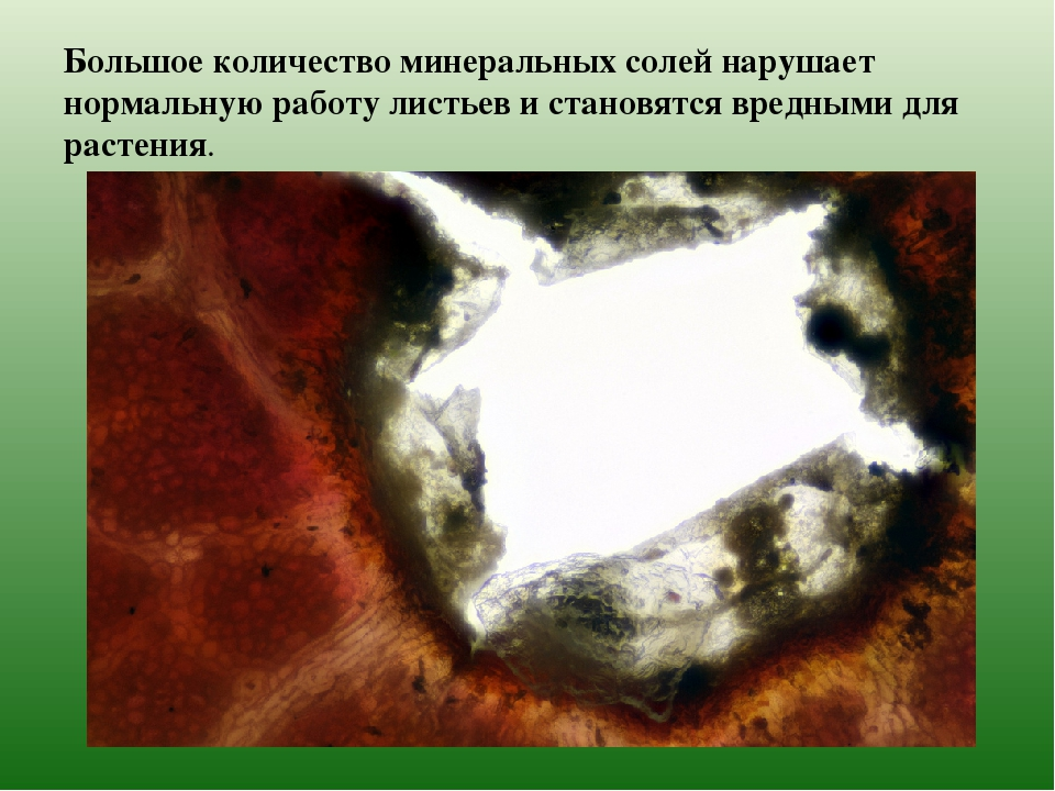 Большое количество минеральных солей нарушает нормальную работу листьев и ста...