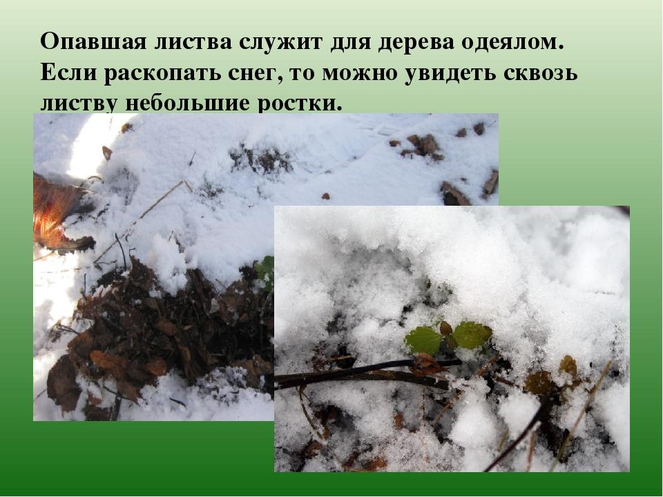 Опавшая листва служит для дерева одеялом. Если раскопать снег, то можно увиде...