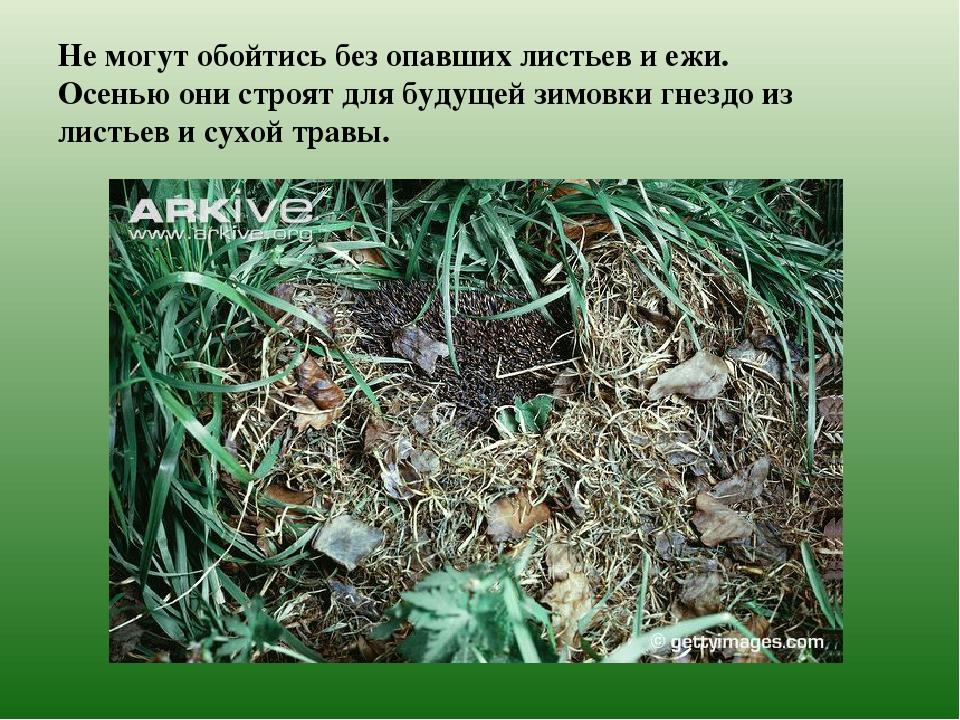 Не могут обойтись без опавших листьев и ежи. Осенью они строят для будущей зи...