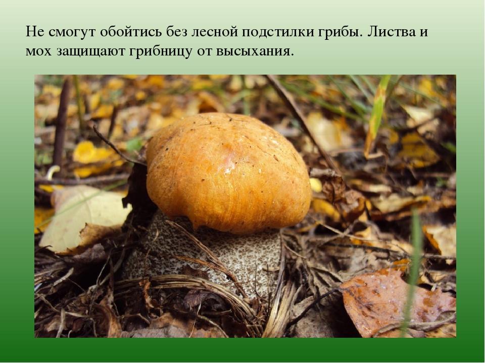 Не смогут обойтись без лесной подстилки грибы. Листва и мох защищают грибницу...