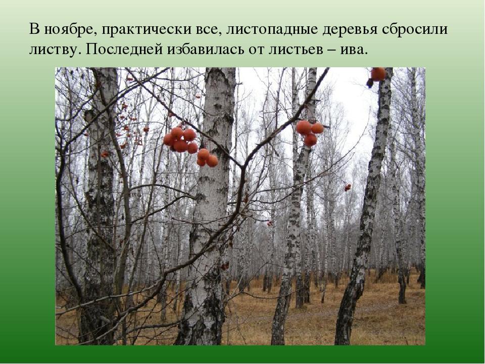 В ноябре, практически все, листопадные деревья сбросили листву. Последней изб...
