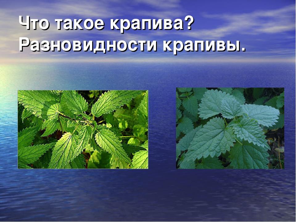 Что такое крапива? Разновидности крапивы.