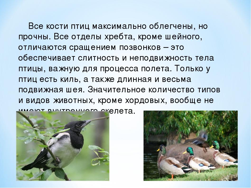 Все кости птиц максимально облегчены, но прочны. Все отделы хребта, кроме ше...