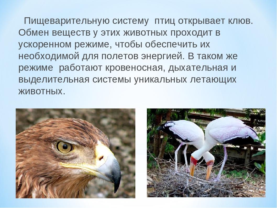 Пищеварительную систему птиц открывает клюв. Обмен веществ у этих животных...