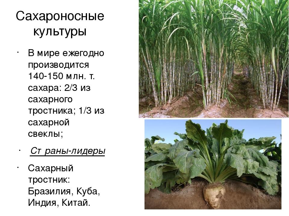 Картинки сахарной свеклы и сахарного тростника