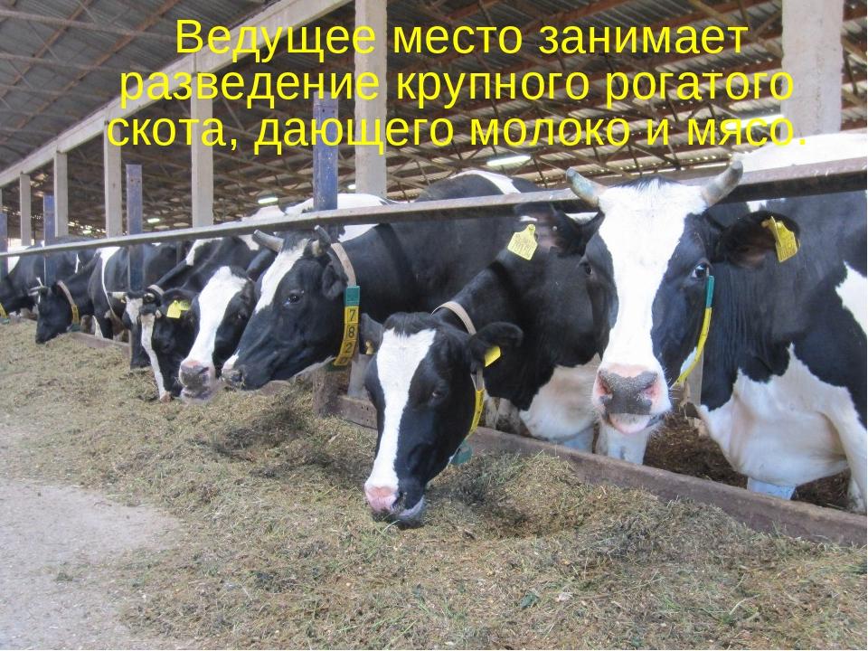 Скотоводство     Ведущее место занимает разведение крупного рогатого...