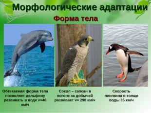 Морфологические адаптации Форма тела Обтекаемая форма тела позволяет дельфину