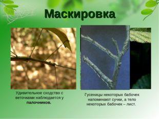 Маскировка Гусеницы некоторых бабочек напоминают сучки, а тело некоторых бабо