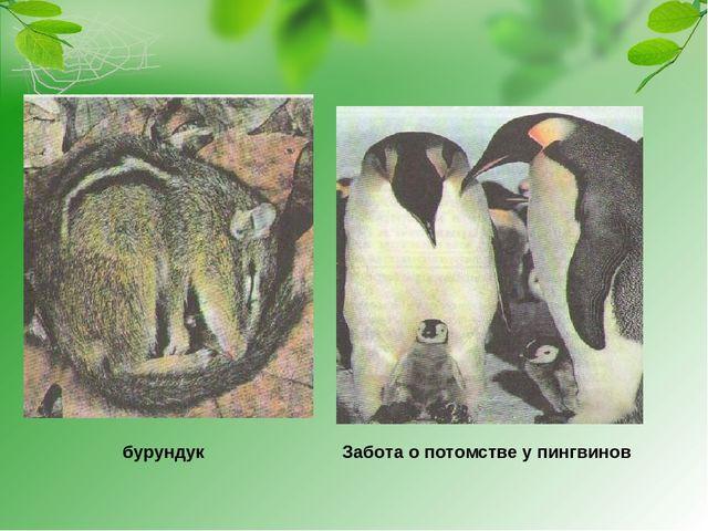 бурундук Забота о потомстве у пингвинов