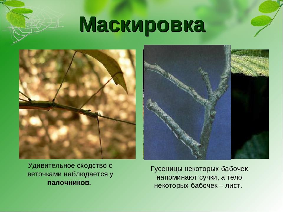 Маскировка Гусеницы некоторых бабочек напоминают сучки, а тело некоторых бабо...