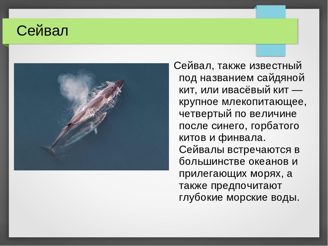 Сейвал Сейвал, также известный под названием сайдяной кит, или ивасёвый кит —...