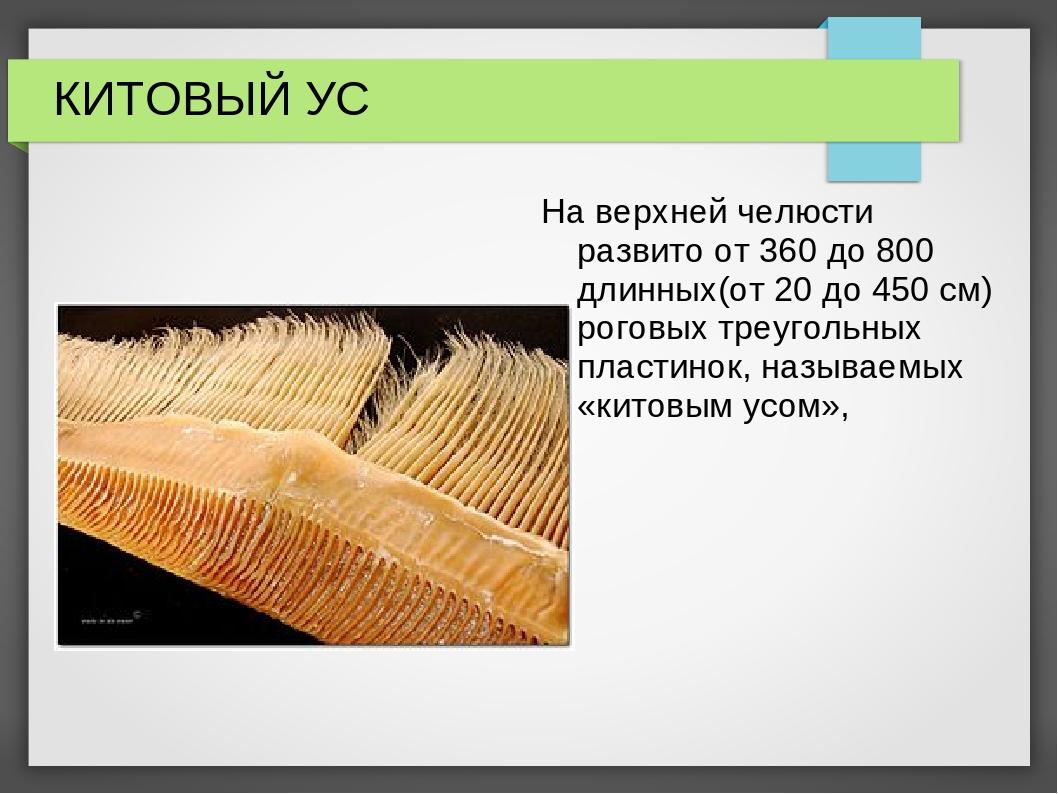 КИТОВЫЙ УС На верхней челюсти развито от 360 до 800 длинных(от 20 до 450 см)...