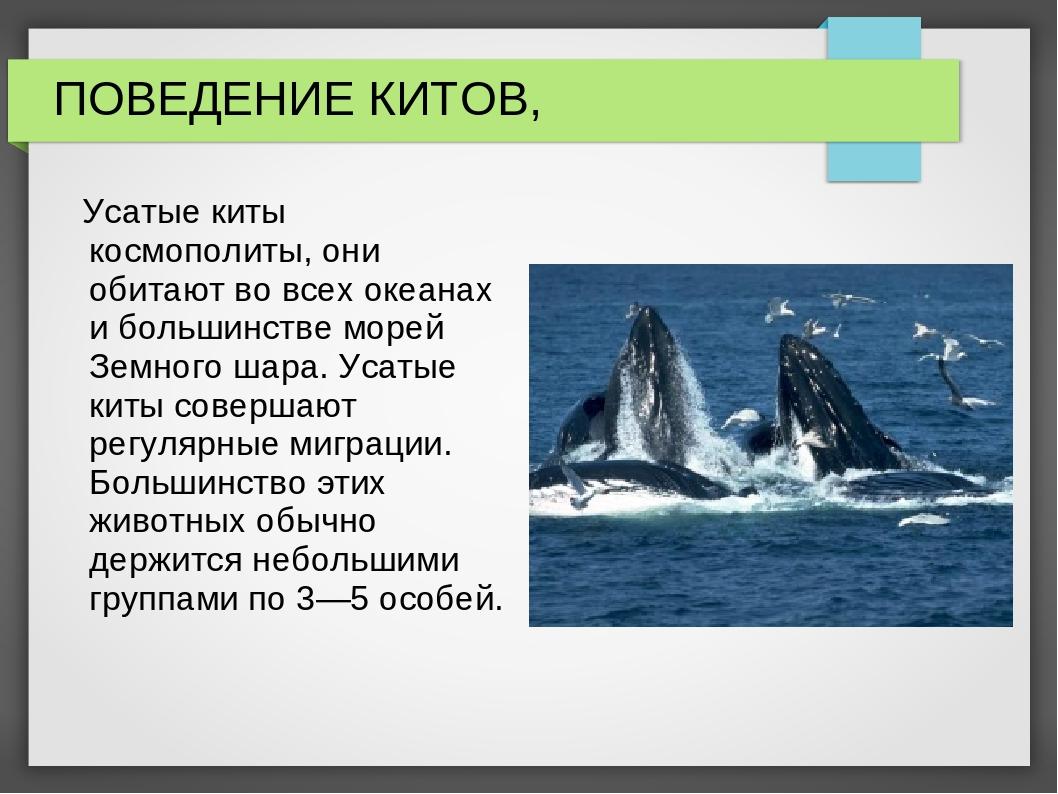 ПОВЕДЕНИЕ КИТОВ, Усатые киты космополиты, они обитают во всех океанах и больш...