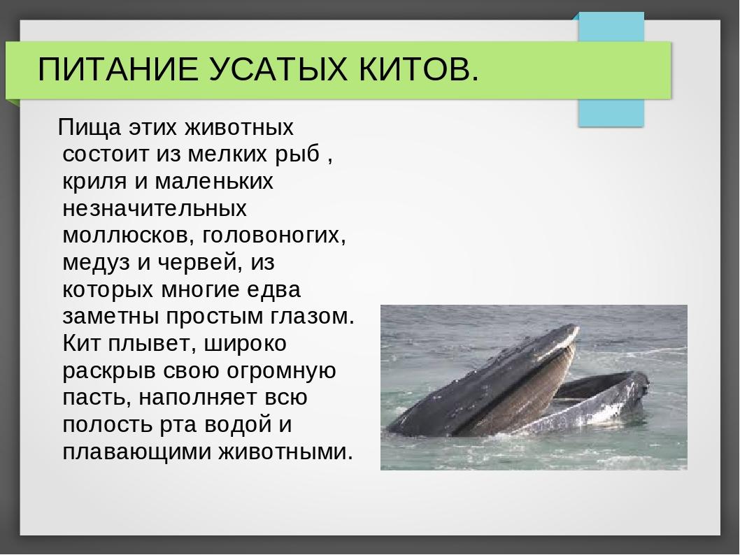 ПИТАНИЕ УСАТЫХ КИТОВ. Пища этих животных состоит из мелких рыб , криля и мале...