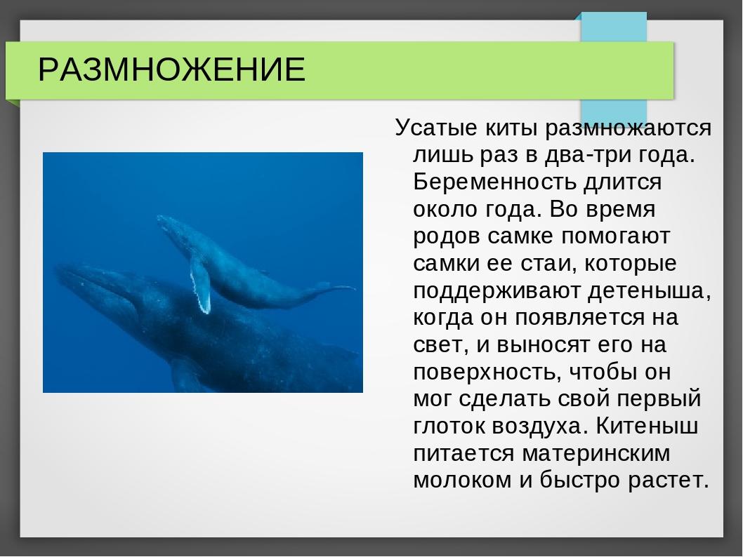 РАЗМНОЖЕНИЕ Усатые киты размножаются лишь раз в два-три года. Беременность дл...