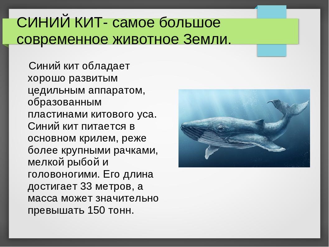 СИНИЙ КИТ- самое большое современное животное Земли. Синий кит обладает хорош...