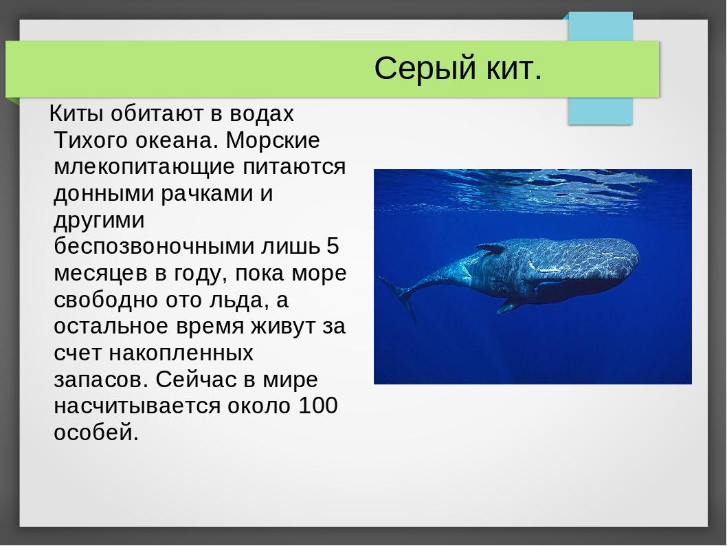 Серый кит. Киты обитают в водах Тихого океана. Морские млекопитающие питаютс...