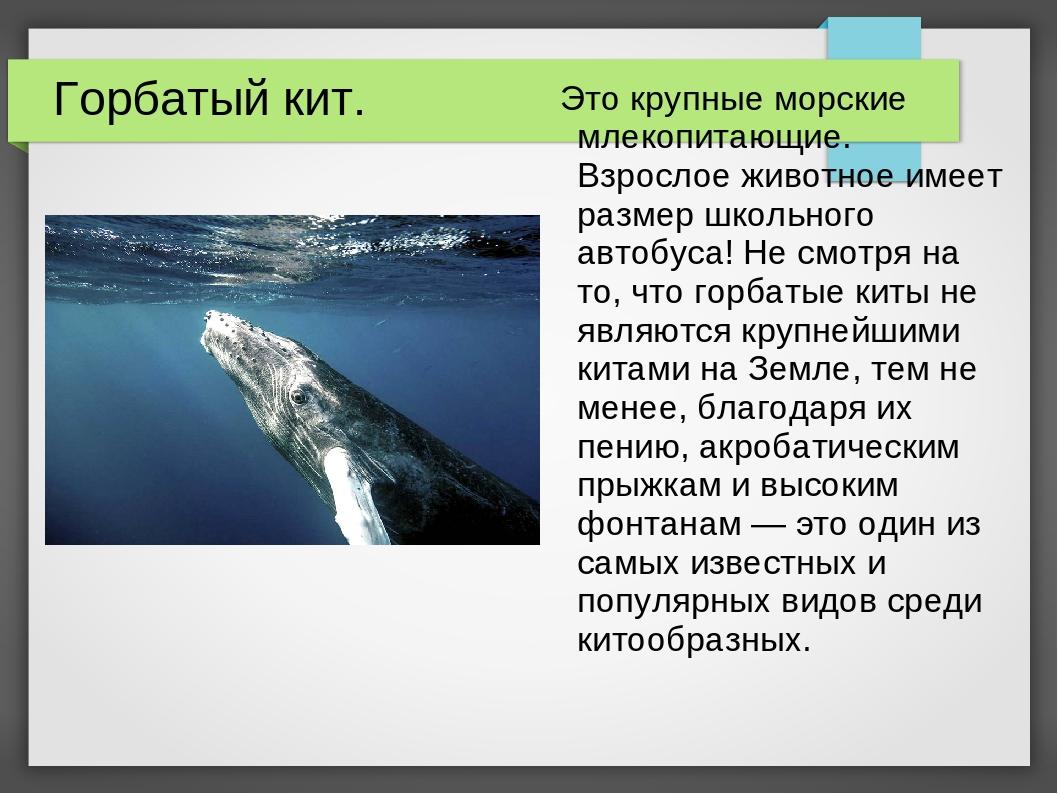 Горбатый кит. Это крупные морские млекопитающие. Взрослое животное имеет разм...