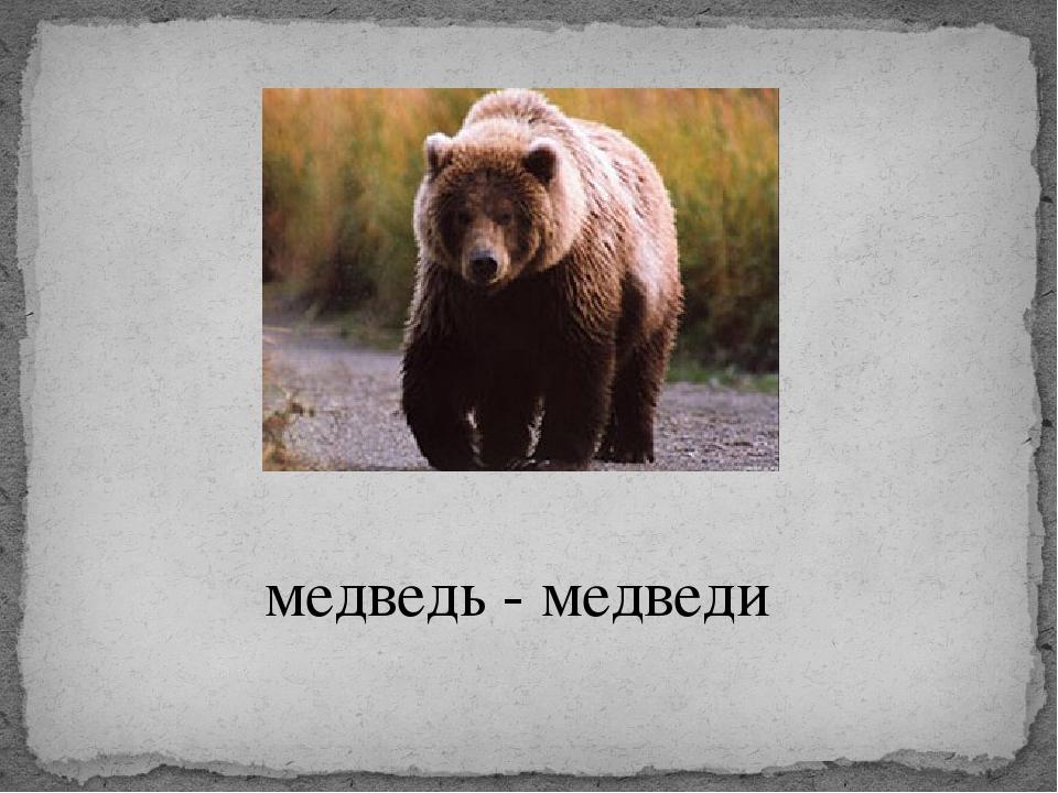 медведь - медведи