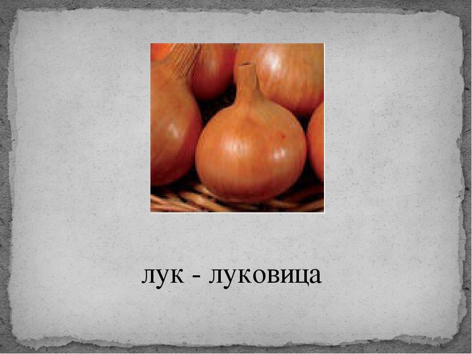 лук - луковица