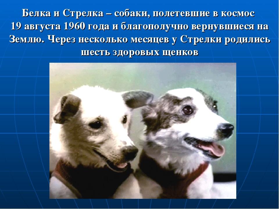 Белка и Стрелка – собаки, полетевшие в космос 19 августа 1960 года и благопол...