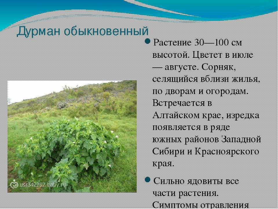 лекарственные растения сибири фото и описание принесла