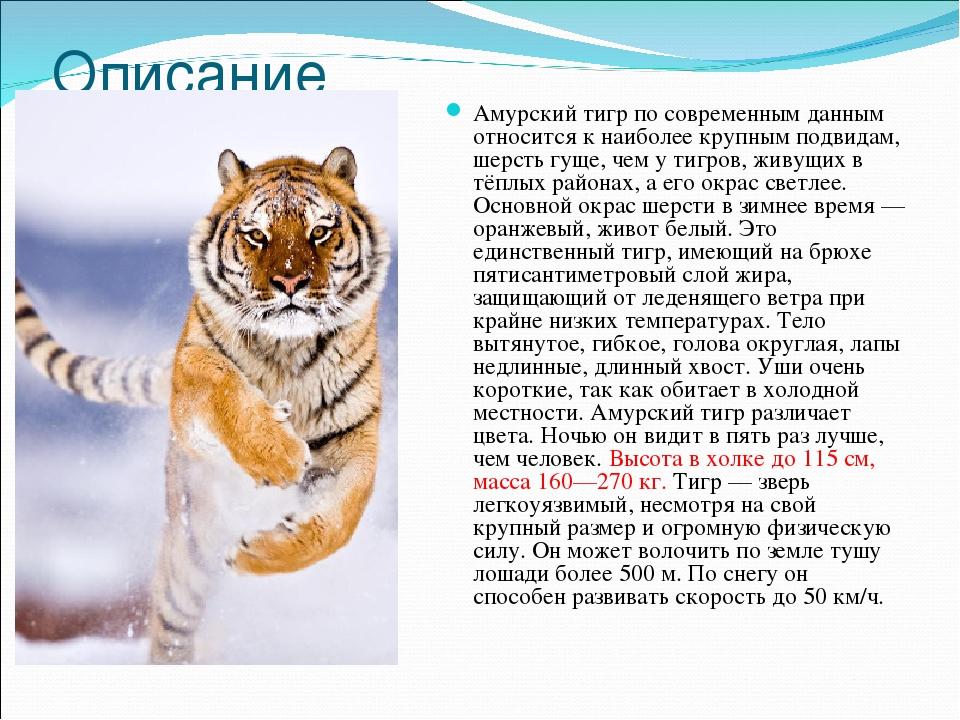 стирают термобелье, письмо браконьеру про амурского тигра холодную погоду