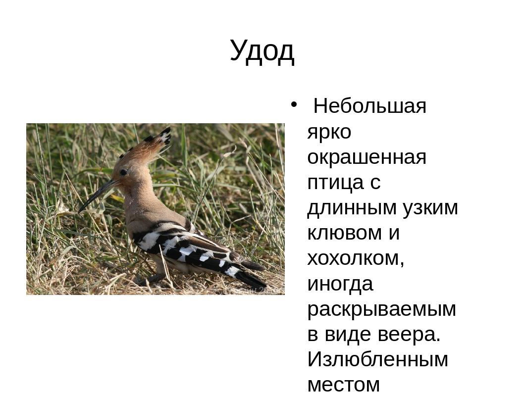 Удод Небольшая ярко окрашенная птица с длинным узким клювом и хохолком, иногд...