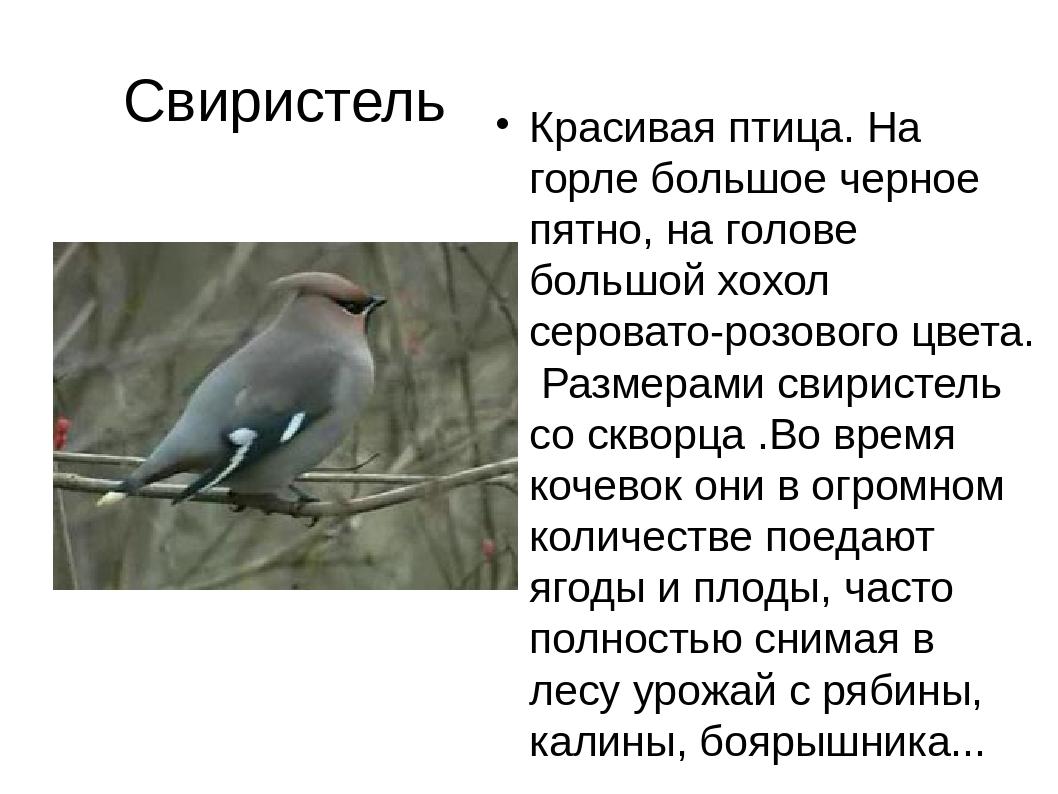 Свиристель Красивая птица. На горле большое черное пятно, на голове большой х...