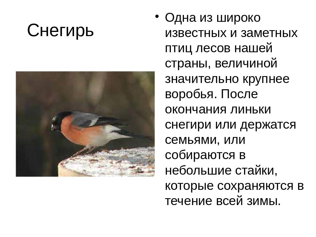 Снегирь Одна из широко известных и заметных птиц лесов нашей страны, величино...