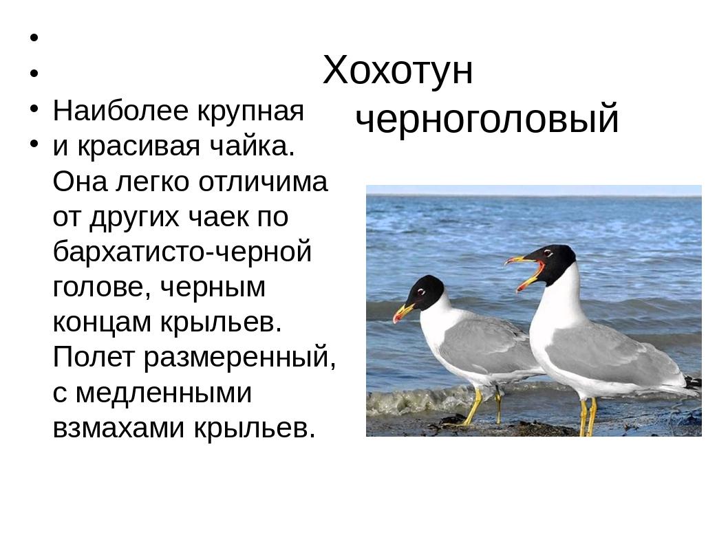 Хохотун черноголовый Наиболее крупная и красивая чайка. Она легко отличима о...