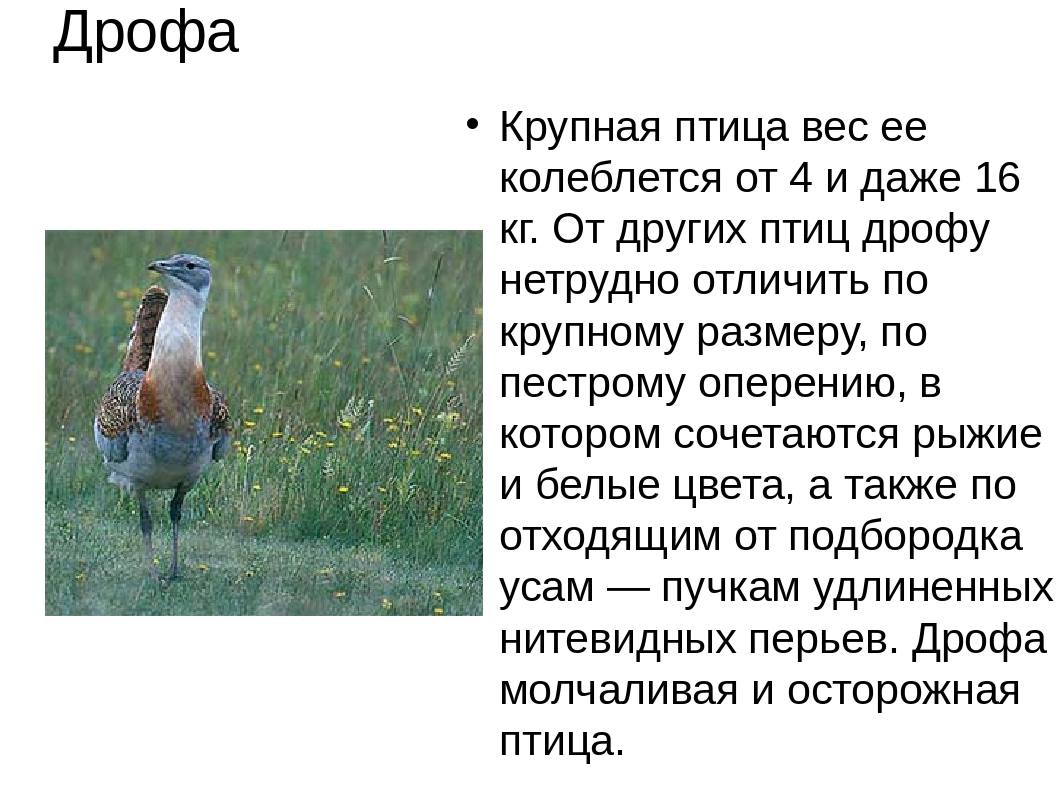 Крупная птица вес ее колеблется от 4 и даже 16 кг. От других птиц дрофу нетру...