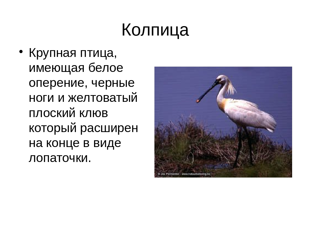 Колпица Крупная птица, имеющая белое оперение, черные ноги и желтоватый плоск...