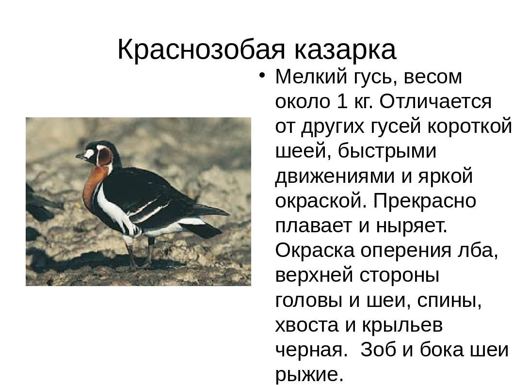 Краснозобая казарка Мелкий гусь, весом около 1 кг. Отличается от других гусей...