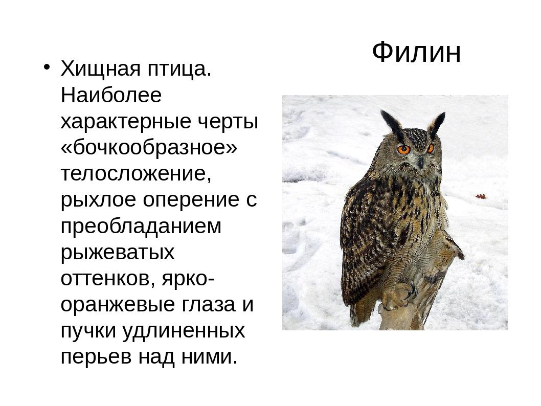 Филин Хищная птица. Наиболее характерные черты «бочкообразное» телосложение,...