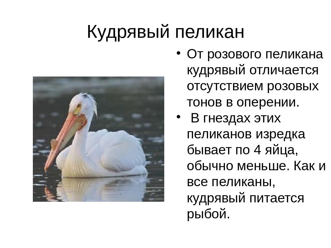 Кудрявый пеликан От розового пеликана кудрявый отличается отсутствием розовых...