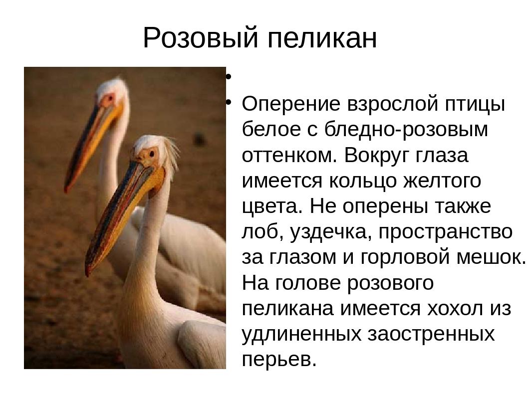 Розовый пеликан Оперение взрослой птицы белое с бледно-розовым оттенком. Вокр...