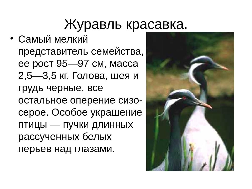 Журавль красавка. Самый мелкий представитель семейства, ее рост 95—97 см, мас...