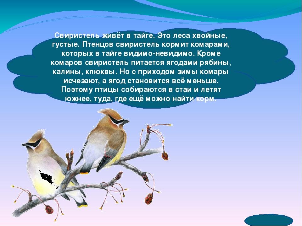 Свиристель живёт в тайге. Это леса хвойные, густые. Птенцов свиристель корми...