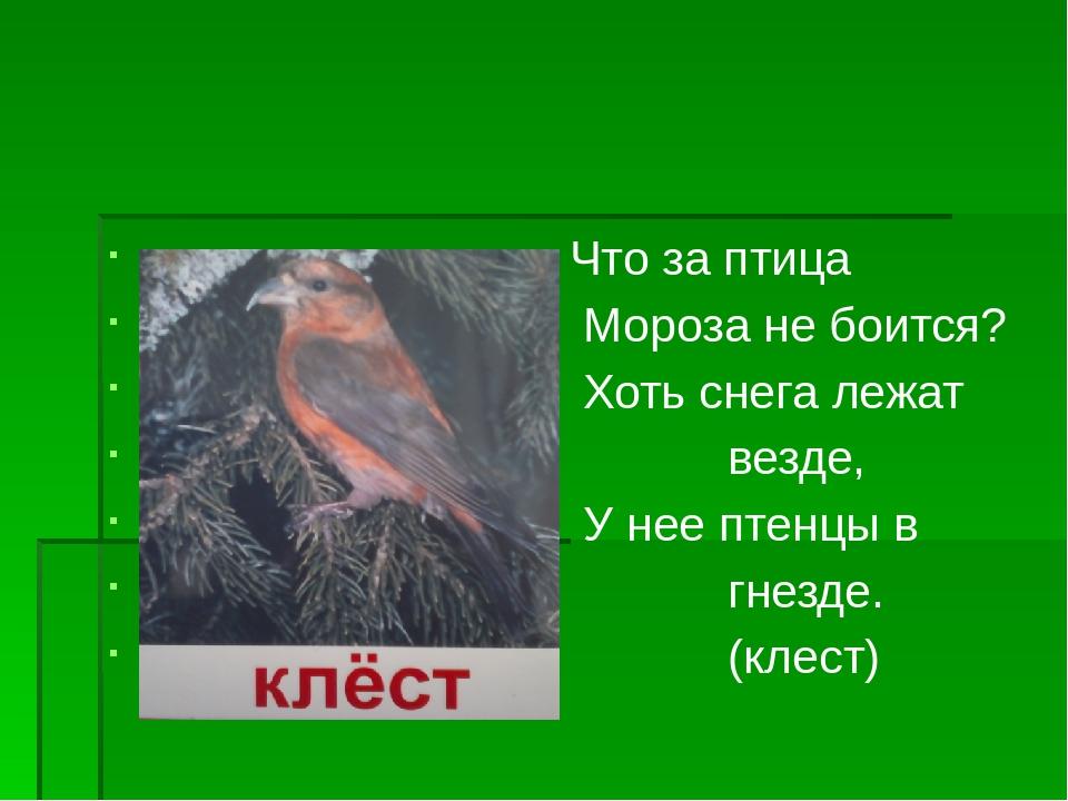 Что за птица Мороза не боится? Хоть снега лежат везде, У нее птенцы в гнезде...