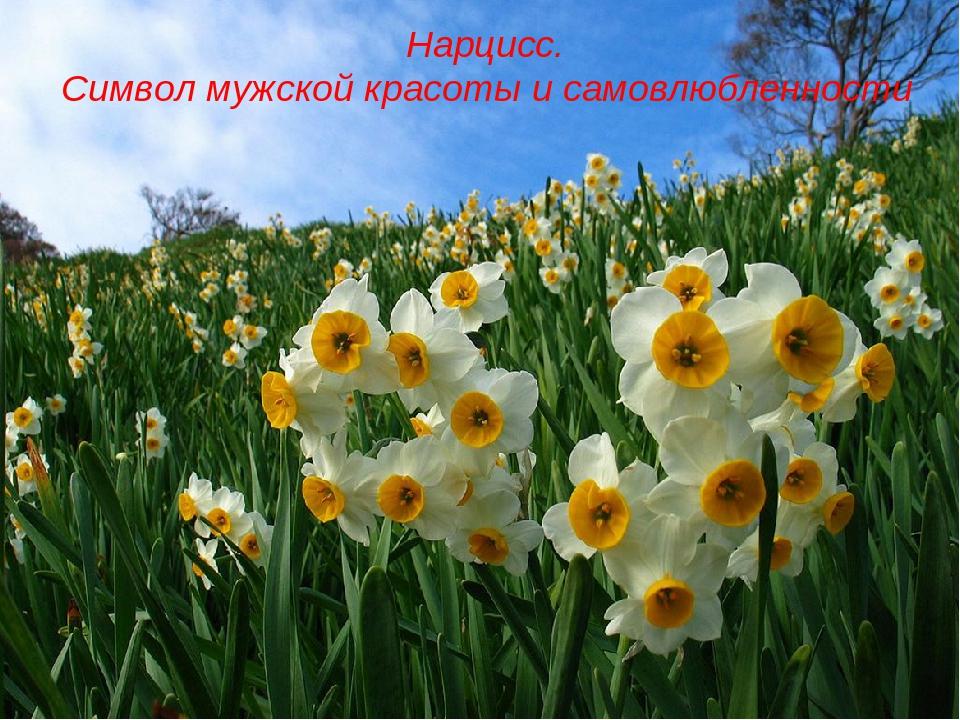 Нарцисс. Символ мужской красоты и самовлюбленности