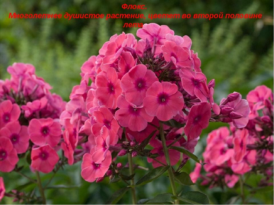 Флокс. Многолетнее душистое растение, цветет во второй половине лета