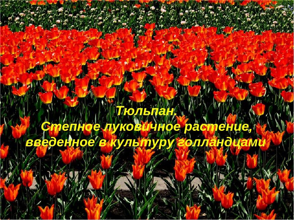 Тюльпан. Степное луковичное растение, введенное в культуру голландцами