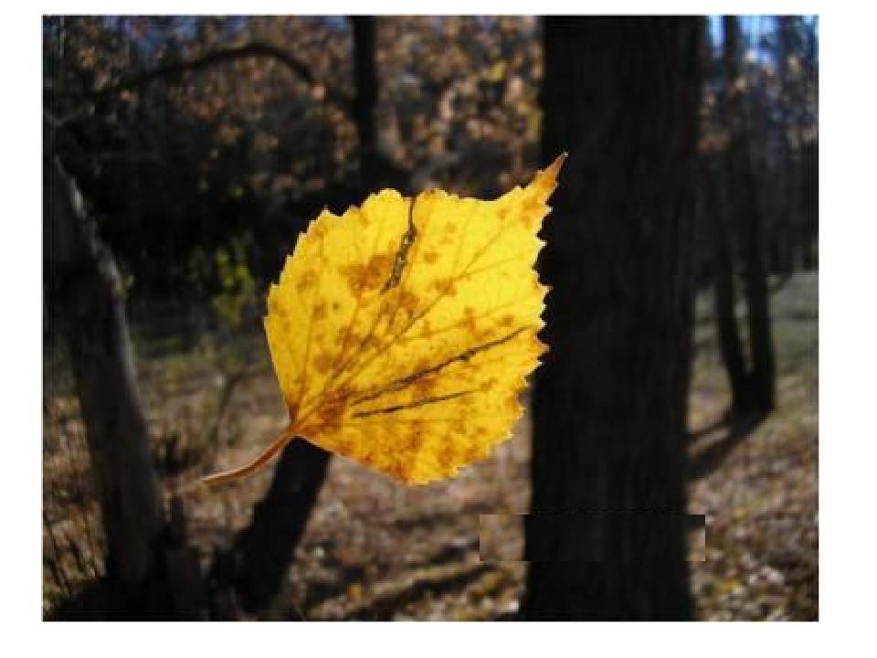 Почему опадают листья у радермахеры