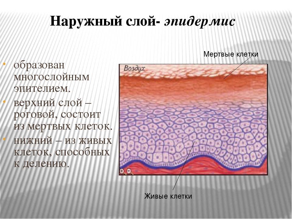 образован многослойным эпителием. верхний слой – роговой, состоит из мертвых...