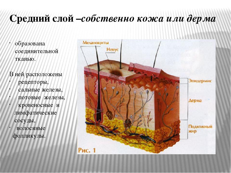 образована соединительной тканью. В ней расположены рецепторы, сальные железы...