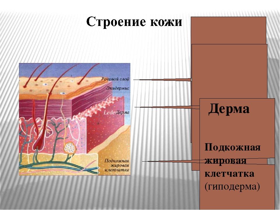 Подкожная жировая клетчатка. Выполняет функцию изолирующего слоя, препятствую...